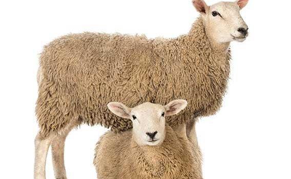 بازار گوسفند