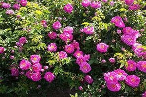 سند «گل محمدی» تدوین میشود