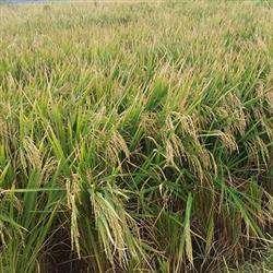 توسط پژوهشگران پارک علم و فناوری مازندران؛ برنج متحمل به شوری برکت تولید شد