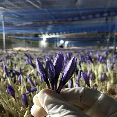 راه اندازی مرکز کشت زعفران ایروپونیک توسط شرکت مستقر در پارک علم و فناوری آذربایجان غربی