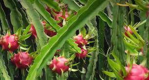 راهنمای کشت گیاه دراگون فروت             راهنمای کشت گیاه دراگون فروت             راهنمای کشت گیاه دراگون فروت