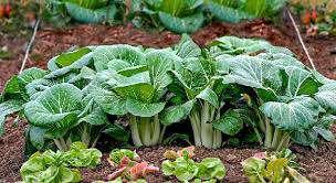 کشت سبزیجات برگی             کشت سبزیجات برگی             کشت سبزیجات برگی