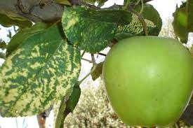 بیماری های ویروسی درختان میوه             بیماری های ویروسی درختان میوه             بیماری های ویروسی درختان میوه
