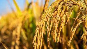 معرفی ارقام پر محصول برنج کشور             معرفی ارقام پر محصول برنج کشور             معرفی ارقام پر محصول برنج کشور