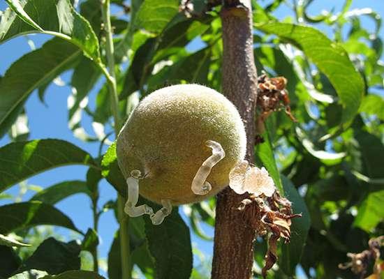 ترشح شیره روی میوه هلو             ترشح شیره روی میوه هلو             ترشح شیره روی میوه هلو