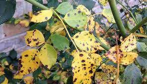 بیماری های مهم درخت رز             بیماری های مهم درخت رز             بیماری های مهم درخت رز