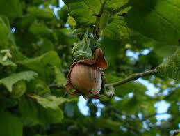 کاشت و گرده افشانی درختان فندق             کاشت و گرده افشانی درختان فندق             کاشت و گرده افشانی درختان فندق
