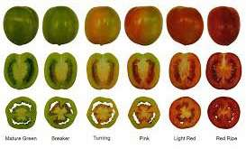 شاخص برداشت گوجه فرنگی             شاخص برداشت گوجه فرنگی             شاخص برداشت گوجه فرنگی