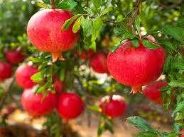 زمان رسیدن  و برداشت میوه انار             زمان رسیدن  و برداشت میوه انار             زمان رسیدن  و برداشت میوه انار