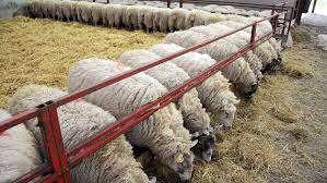 انواع خوراک در پرورش گوسفند             انواع خوراک در پرورش گوسفند             انواع خوراک در پرورش گوسفند