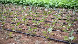 نوارهای آبیاری قطره ای در زراعت سیب زمینی             نوارهای آبیاری قطره ای در زراعت سیب زمینی             نوارهای آبیاری قطره ای در زراعت سیب زمینی