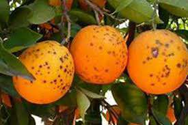 لکه سیاه مرکبات (Citrus Black Spot)             لکه سیاه مرکبات (Citrus Black Spot)             لکه سیاه مرکبات (Citrus Black Spot)
