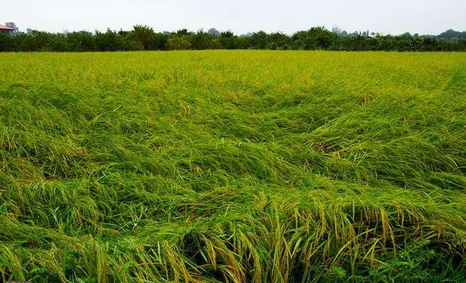 کنترل خوابیدگی ساقه برنج (ورس)             کنترل خوابیدگی ساقه برنج (ورس)             کنترل خوابیدگی ساقه برنج (ورس)