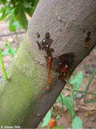 بیماری گموز مرکبات             بیماری گموز مرکبات             بیماری گموز مرکبات