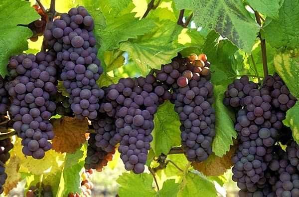 اثر جیبرلیک اسید بر خصوصیات کیفی میوه انگور             اثر جیبرلیک اسید بر خصوصیات کیفی میوه انگور             اثر جیبرلیک اسید بر خصوصیات کیفی میوه انگور