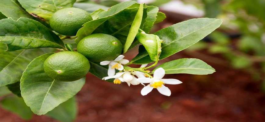 علت ریزش میوه و گل مرکبات و راههای کنترل آن             علت ریزش میوه و گل مرکبات و راههای کنترل آن             علت ریزش میوه و گل مرکبات و راههای کنترل آن