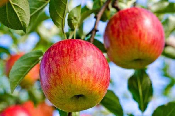 کوددهی و تغذیه سیب             کوددهی و تغذیه سیب             کوددهی و تغذیه سیب