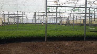 به همت واحد فناور پارک علم و فناوری کرمانشاه؛ تولید پنج میلیون نشاء گلدانی گوجه فرنگی در این شهرستان