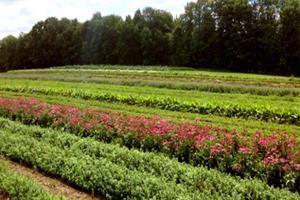 کشت و فرآوری اولیه گیاهان دارویی توسعه یافت
