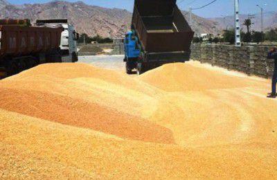 ۲.۹ میلیون تن گندم خرید تضمینی شد