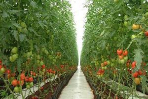 گلخانه فناور محیط کشت محصولات غذایی سالم میشود