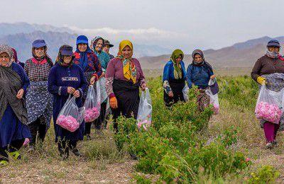 رونق تولید در لالهزار؛ از کشت گل تا صادرات اسانس گل محمدی